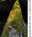 苔藓 倒掉的树 护照 31839328
