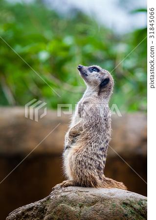 Meerkat (Suricata suricatta) sentry 31845066