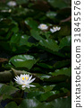 수련 오리 연못 산테빠루쿠 타하라 [아이 치현] 31845576