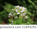 北海道 花朵 花卉 31849285