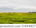 보리밭,유채밭,청해성,중국 31849837