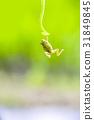 개구리, 매달리기, 청개구리 31849845