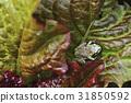 개구리, 상추, 청개구리 31850592