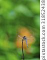 昆蟲 選擇重點 蜻蜓 31852438