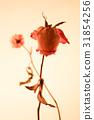 rose 31854256