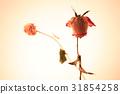 rose 31854258