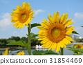 向日葵 花朵 花 31854469