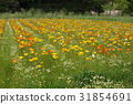 poppy, bloom, blossom 31854691
