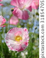 poppy, bloom, blossom 31854705
