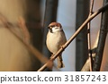 Eurasian Tree Sparrow (Passer montanus) on a twig 31857243