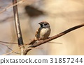 Eurasian Tree Sparrow (Passer montanus) on a twig 31857244
