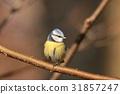 Blue tit (Parus caeruleus) on a twig 31857247