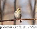 European Serin (Serinus serinus) on a twig 31857249