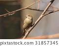 Female Greenfinch (Carduelis chloris) 31857345
