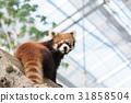 小熊猫 动物 熊猫 31858504
