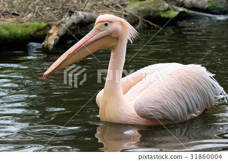 pelican, the great white pelican, white pelican 31860004