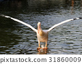 Momoiro Pelicans 31860009