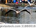 Momoiro Pelicans 31860016