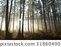 Coniferous forest on a foggy autumn morning 31860400