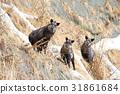 japanese serow, wild animal, wildanimal 31861684