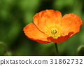 poppy, bloom, blossom 31862732