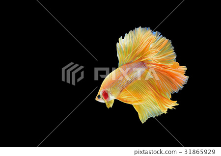 fighting fish 31865929