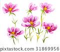Pink cosmos flowers 31869956