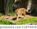호랑이 동물원 31874938