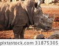흰색 코뿔소 31875305