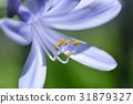 아가판투스, 꽃, 플라워 31879327