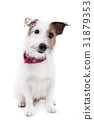Puppy  jack russel terrier dog on a white 31879353