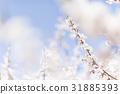 ดอกพลัม (พลัมสีขาว) 31885393
