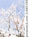 ดอกพลัม (พลัมสีขาว) 31885399