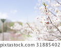 Plum blossoms (white plum) 31885402