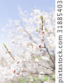 Plum blossoms (white plum) 31885403
