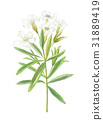 oleander, Nerium, bloom 31889419