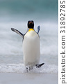 Big King penguin jumps out of the blue water 31892785