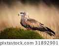 Brown bird of prey black kite, Milvus migrans 31892901