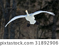 Flying white bird, Whooper Swan, Cygnus cygnus 31892906