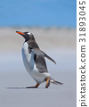 Gentoo penguin running out of the water ocean 31893045