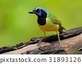 Yellow Bird Green Jay, Cyanocorax yncas, wild 31893126