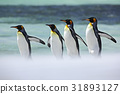 Group of four King penguins, Aptenodytes 31893127