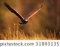 Flying bird of prey, Harris Hawk, Parabuteo 31893135