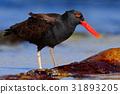 Blakish oystercatcher, Haematopus ater 31893205