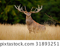 Red deer stag, bellow majestic powerful adult 31893251