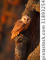 Barn owl sitting on tree trunk at the evening 31893254