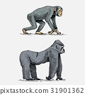 western or mountain gorilla and chimpanzee hand 31901362