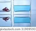 金魚 水 室內 31909593