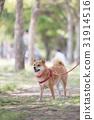 หมาชิบะ,สุนัข,สุนัช 31914516