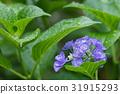 hydrangea, rainy, season 31915293